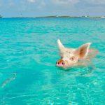 Swimming pig, Staniel Cay, Exuma, Bahamas, Fyre Festival 2017